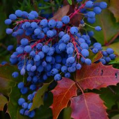 oregon-grape-root
